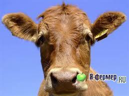 Телязиоз - заболевание глаз крупного рогатого скота