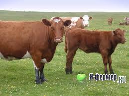 Почему у коровы становится меньше одна сторона вымени?