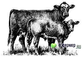 Чем доите коров или какой приобрести доильный аппарат на 10 голов коров?