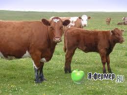откорм крупного рогатого скота