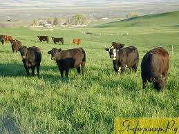 Бонитировка крупного рогатого скота или племенная работа.