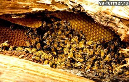 Как избавиться от диких пчёл?
