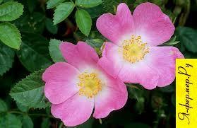Шиповник (Rosa)