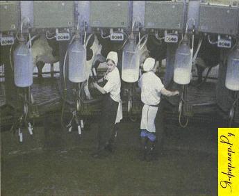 Доение коров. На фото: доярки