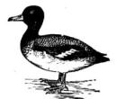 Гемофилез или инфекционный насморк у птицы