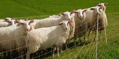 Электрические ограждения для овец