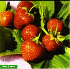 ягоды сорта земляники Эль Санта