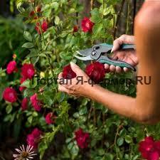 Горшки с привитыми розами