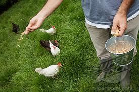 кормление кур, фото