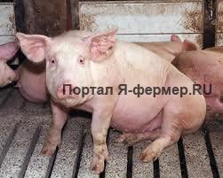 Промышленный откорм свиней фото