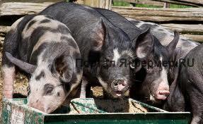 Откорм свиней фото