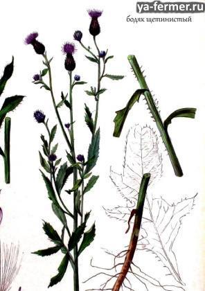 Вредные и ядовитые луговые растения: бодяк щетинистый
