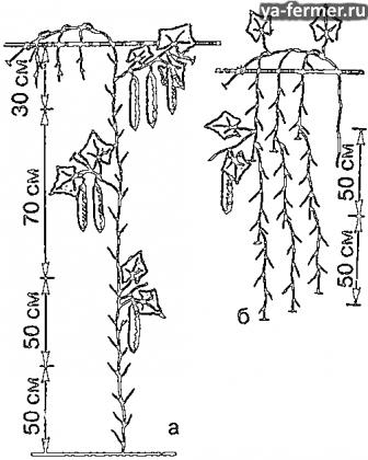 Формирование растений огурцов