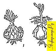 Формы луковиц и корни лилий