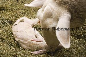 Овцематка чистит нос ягнёнку от плодной оболочки