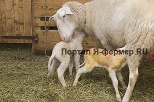 Опытные овцы помогают своим ягнятам находить вымя