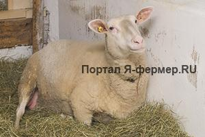 Овцематка перед ягнением ложится, встает и снова ложится