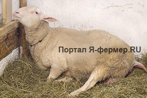 Схватки у овцы