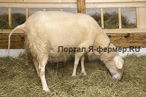 Овца часто встает, обнюхивает околоплодные воды