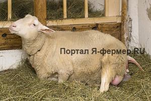 Схватки у овцематки происходят чаще и сильнее