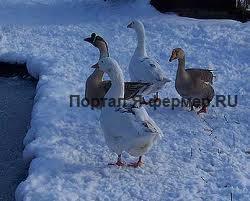 Профилактика заболеваний гусей