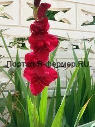 гладиолус, фото