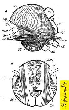 Главные мышцы груди у пчелы