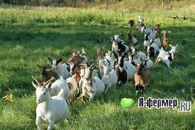 Болезни коз и их лечение.