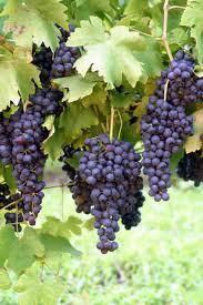 виноград в комнатных условиях