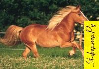 Фото лошади породы Хафлингер