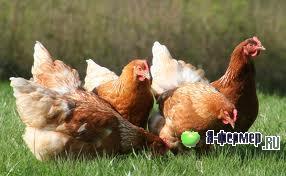 Сроки использования домашней птицы