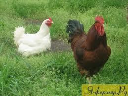 Перозис у домашней птицы: признаки, течение, лечение и меры профилактики