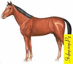 Кожа у лошади: строение, значение, функции. Каштаны и шпоры у лошадей.
