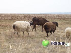 Овцы на пастбище осенью