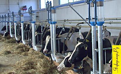 Автоматическая линия кормления коров