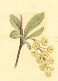 Барбарисовый мед: описание и рецепты