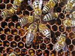 молодые матки у пчёл