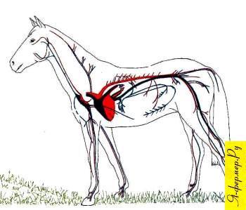 Органы кровообращения лошади: сердце, кровь