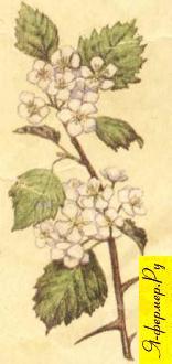Боярышниковый мёд: описание, применение, рецепты