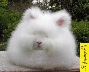 Аристократичный ангорский кролик