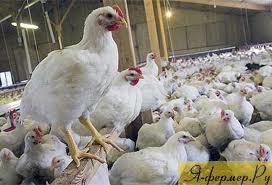 Как кормить сельскохозяйственную птицу. Кормление кур, фото.