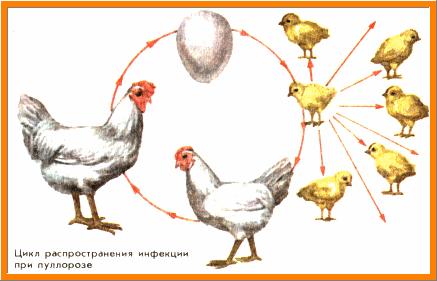 пуллоз, цикл распространения, КАРТИНКА-СХЕМА