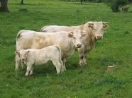 коровы и телёнок