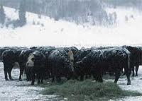 Особенности холодного содержания крупного рогатого скота