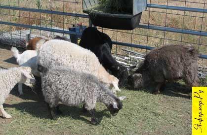 Пуховые козы: кормление, правила содержания.