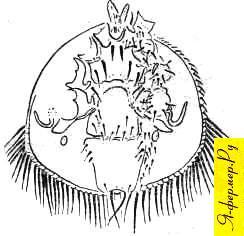 Пчелиный клещ Эуварроа синхаи — самка
