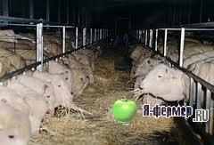 Особенности кормления и рационы овец