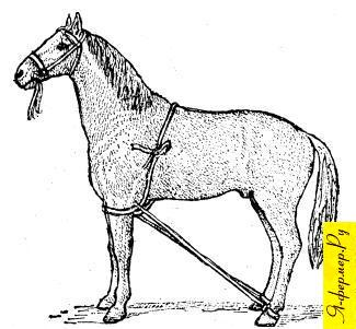 Фиксация задних ног лошади