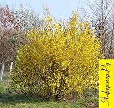 Форзиция европейская: описание, выращивание, зимовка