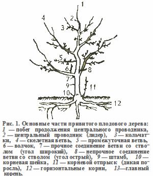 строение яблони, рисунок